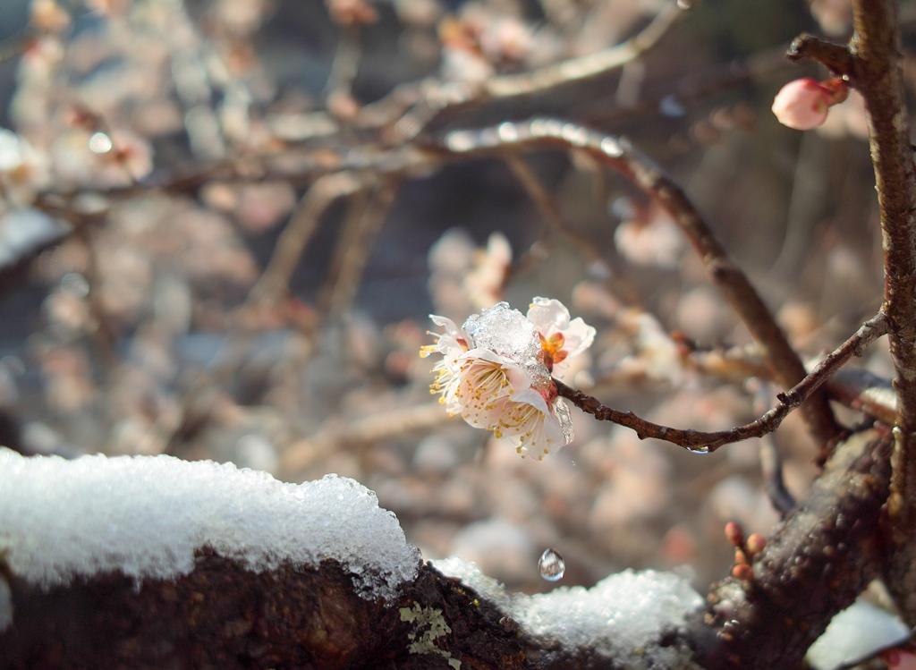 春雪梅花・・・R367の「雪と桜」前線_d0005250_19492365.jpg