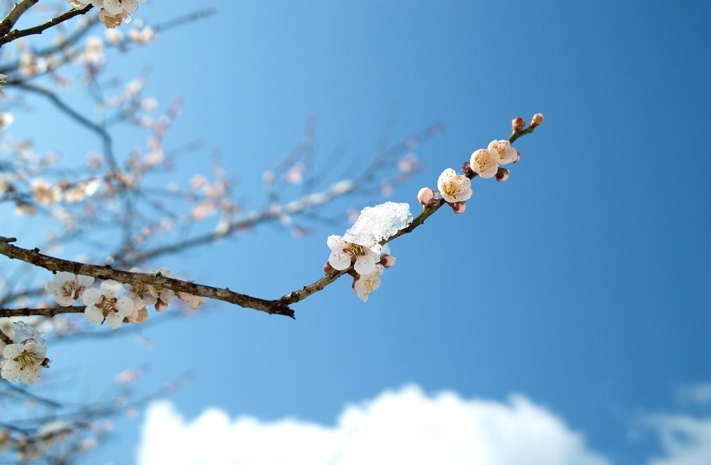 春雪梅花・・・R367の「雪と桜」前線_d0005250_19501454.jpg