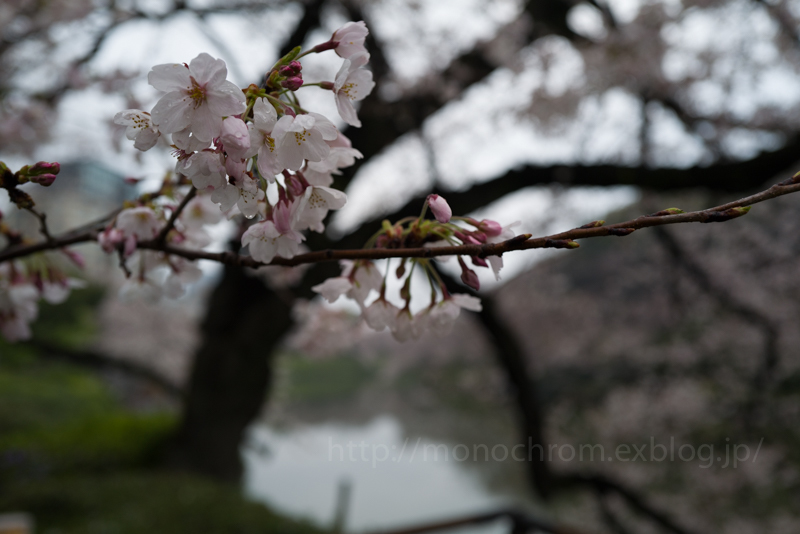 Leica Q2 First Impression 初撮 vol.6 Sakura_c0219256_17133802.jpg