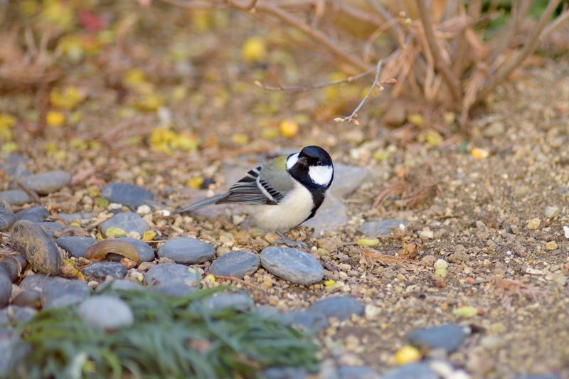今季庭にやってきた野鳥たち_c0330563_11462483.jpg