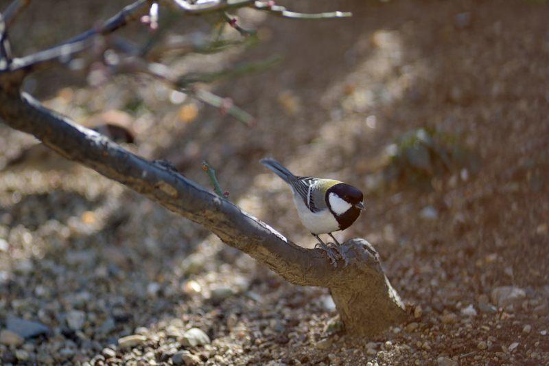 今季庭にやってきた野鳥たち_c0330563_11465190.jpg