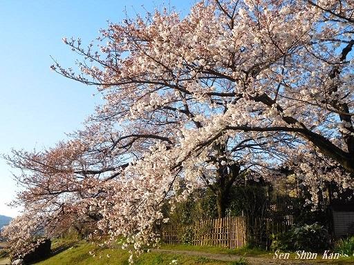 賀茂川の桜  2019年4月3日_a0164068_23433639.jpg