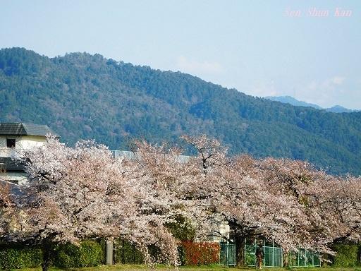 賀茂川の桜  2019年4月3日_a0164068_23433658.jpg