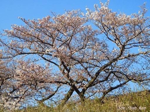 賀茂川の桜  2019年4月3日_a0164068_23444107.jpg