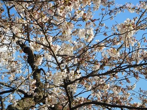 賀茂川の桜  2019年4月3日_a0164068_23444161.jpg