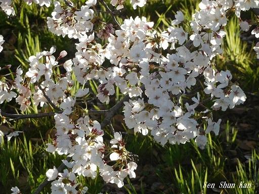 賀茂川の桜  2019年4月3日_a0164068_23454028.jpg