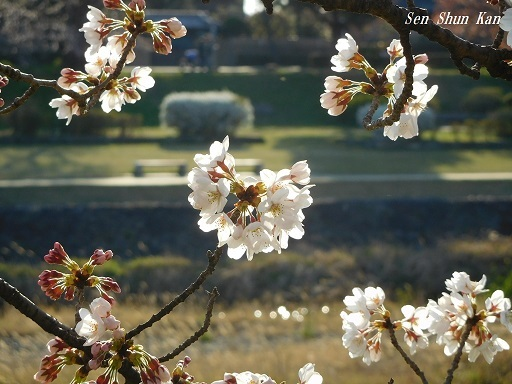 賀茂川の桜  2019年4月3日_a0164068_23454040.jpg