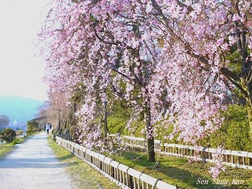 賀茂川の桜  2019年4月3日_a0164068_23473633.jpg