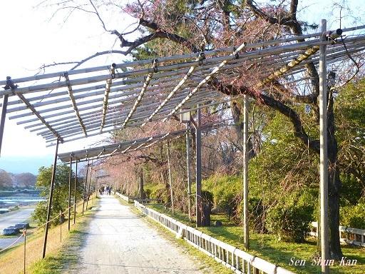 賀茂川の桜  2019年4月3日_a0164068_23473648.jpg
