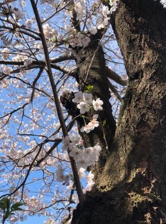 桜と椿と花水木_c0331470_23564327.jpg