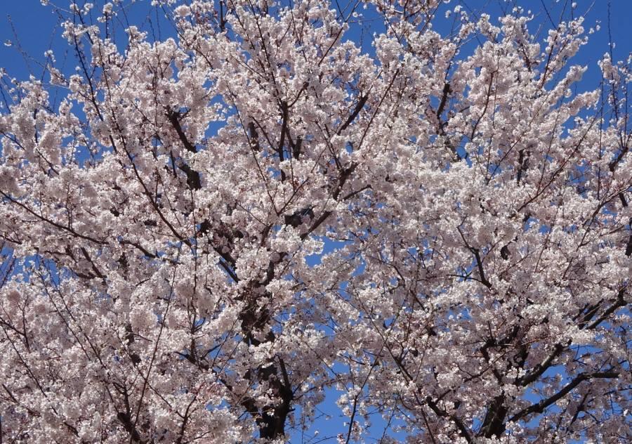 桜が満開_f0059673_21475804.jpg