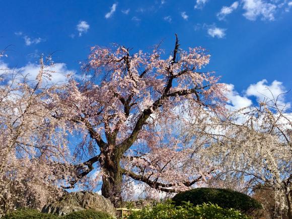 京都・円山公園の枝垂れ桜_d0339676_16295775.jpg