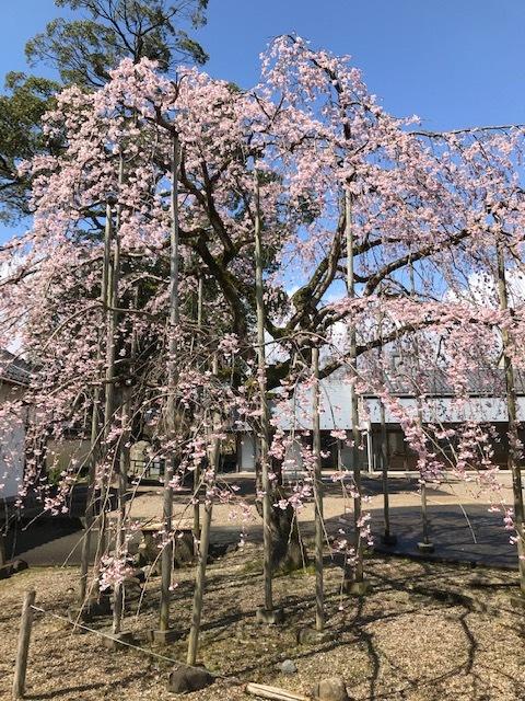 城崎へ 出石の桜_f0204295_13582329.jpg