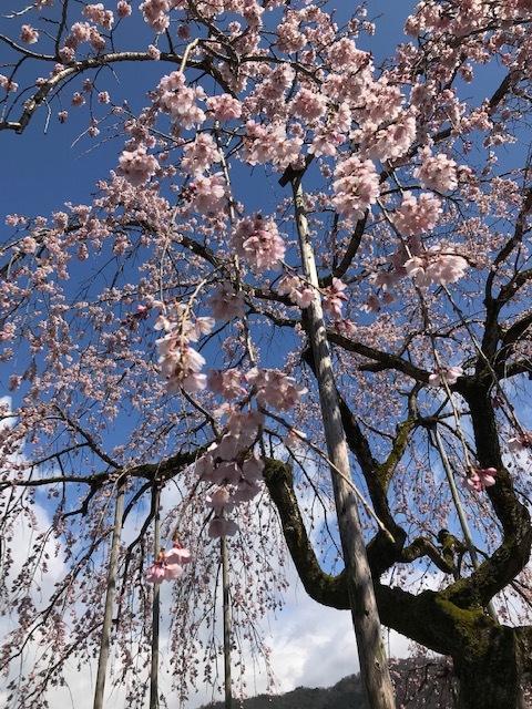 城崎へ 出石の桜_f0204295_13583147.jpg