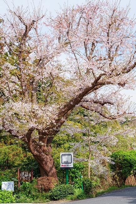 満開の桜を眺めながら至福のランチ ローストビーフ鎌倉山本店_b0145398_23323645.jpg