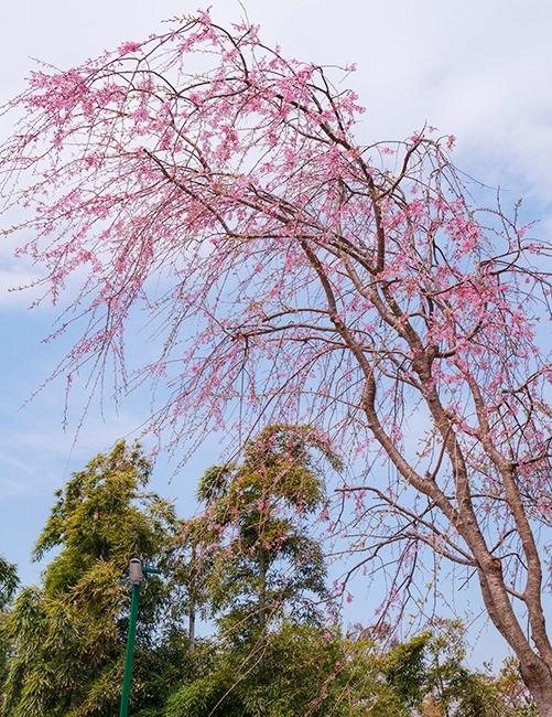 満開の桜を眺めながら至福のランチ ローストビーフ鎌倉山本店_b0145398_23584338.jpg