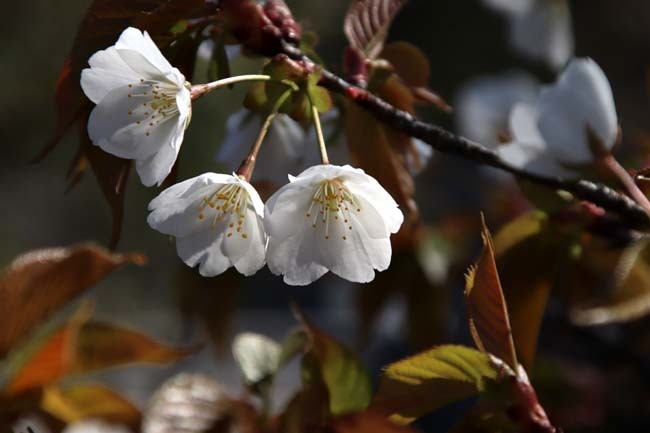 桜満開 二条城_e0048413_20461094.jpg
