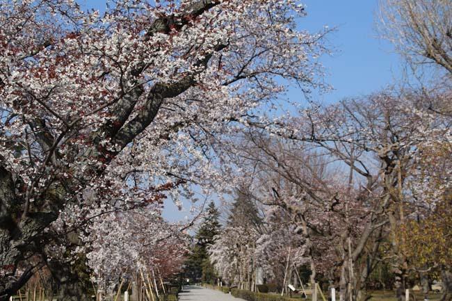 桜満開 二条城_e0048413_20461858.jpg