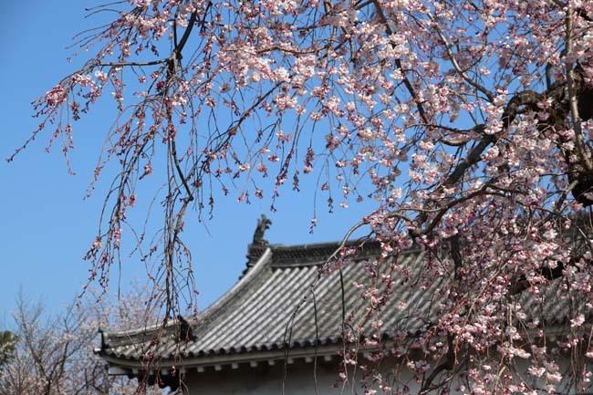 桜満開 二条城_e0048413_20462554.jpg