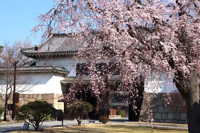 桜満開 二条城_e0048413_20462842.jpg