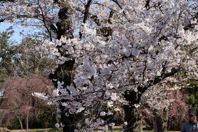 桜満開 二条城_e0048413_20463123.jpg