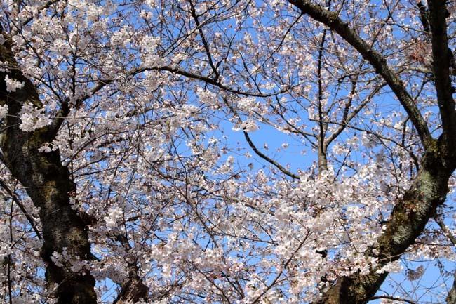 桜満開 二条城_e0048413_20463474.jpg