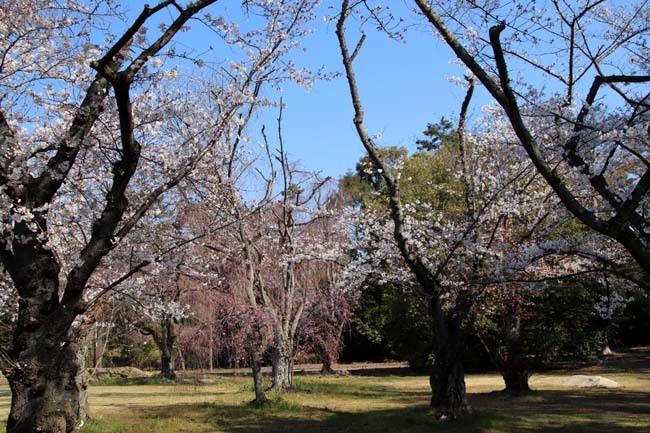 桜満開 二条城_e0048413_20463721.jpg