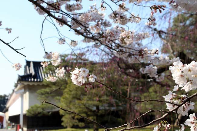 桜満開 二条城_e0048413_20463922.jpg