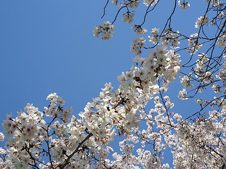 今日のお花見弁当_f0097523_17053777.jpg