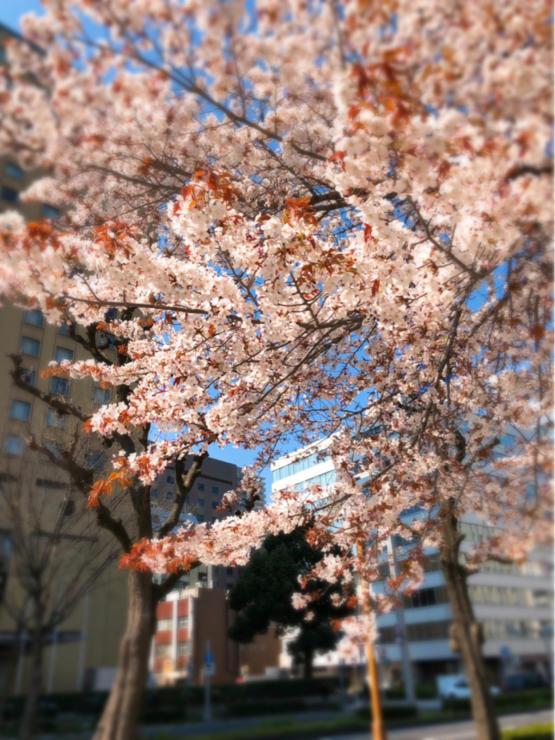 桜満開_c0170233_09382346.jpg