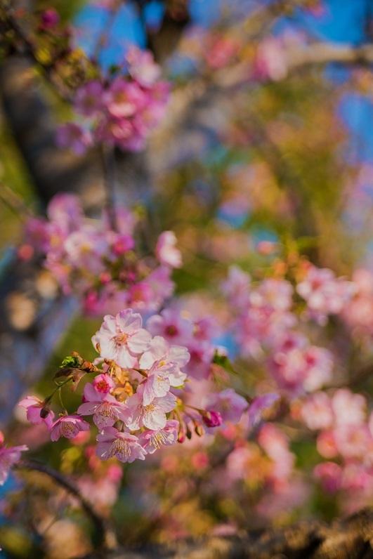 2019京都桜~三条大橋の河津桜_e0363038_14373672.jpg
