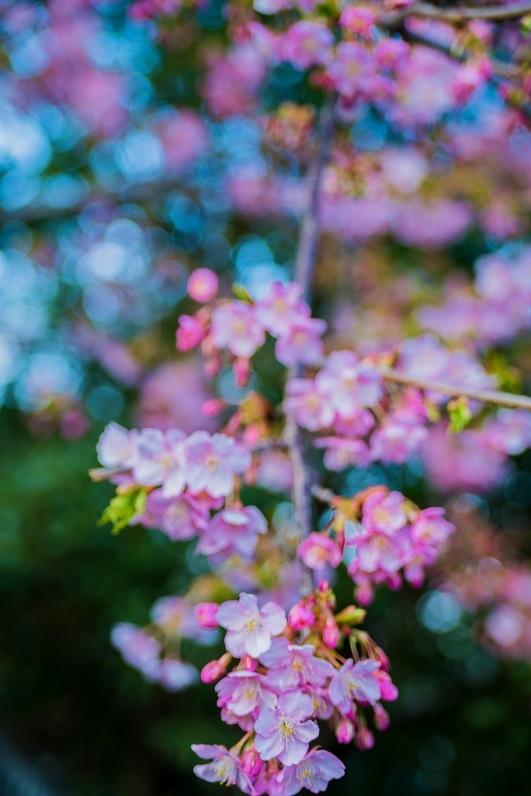 2019京都桜~三条大橋の河津桜_e0363038_14381559.jpg