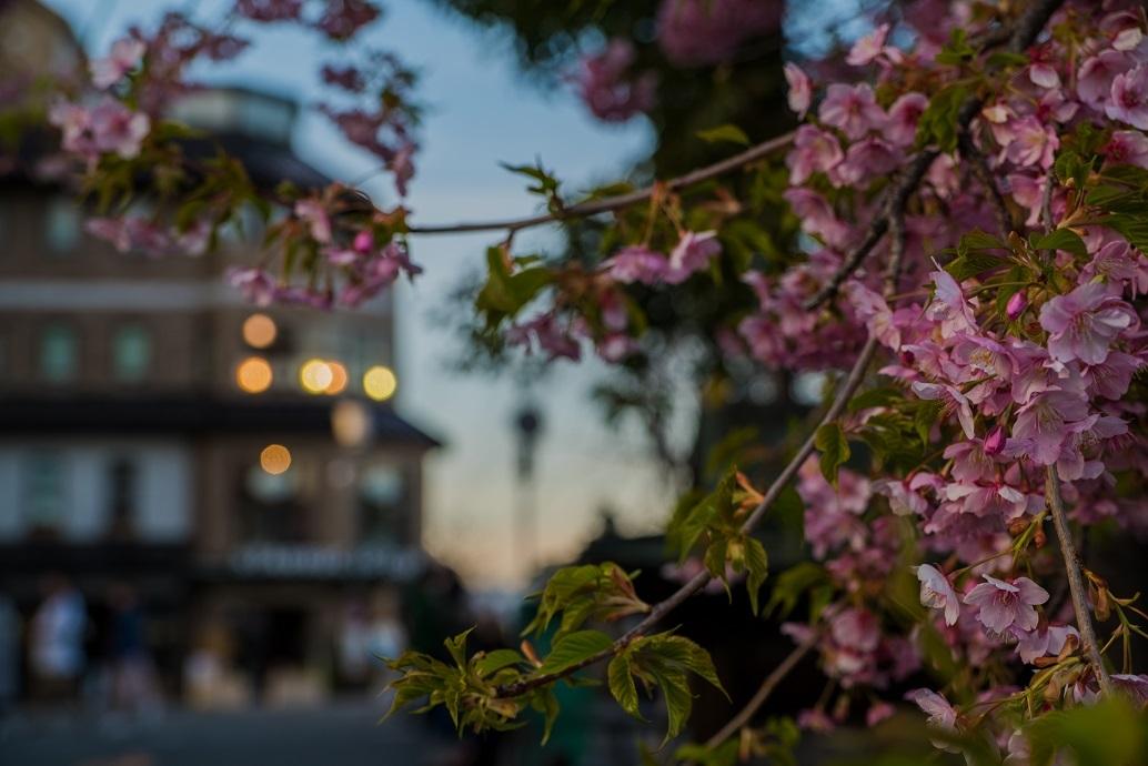 2019京都桜~三条大橋の河津桜_e0363038_14392176.jpg
