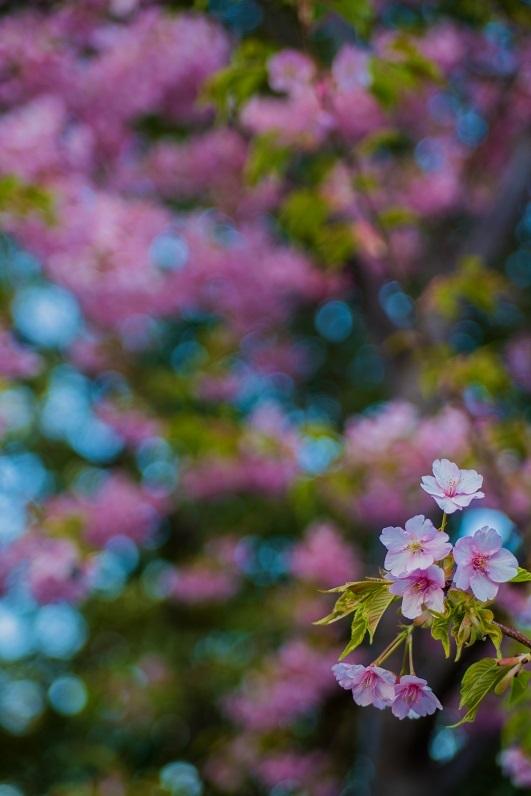 2019京都桜~三条大橋の河津桜_e0363038_14401307.jpg