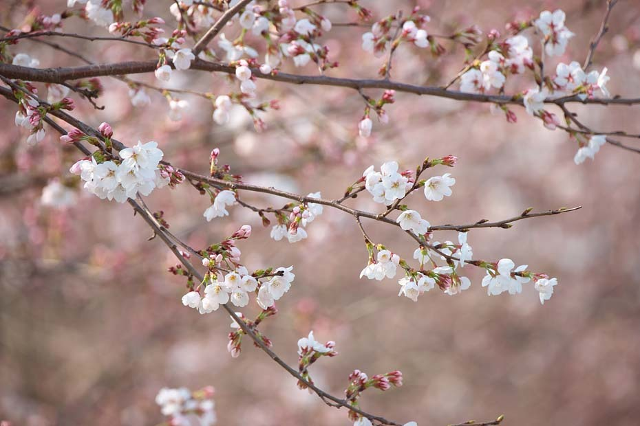 桜便り´19 #5_c0067040_20321667.jpg