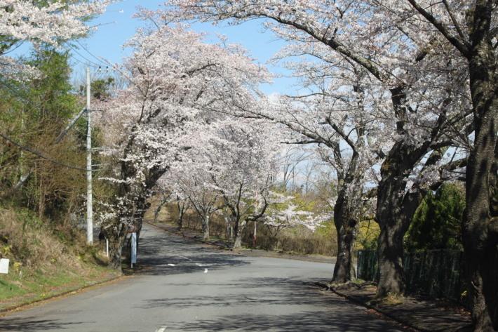 近所の桜_a0046161_12353346.jpg