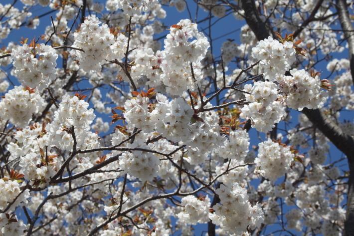 近所の桜_a0046161_12354059.jpg