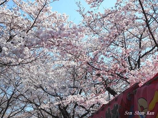 平野神社の桜が見頃です  2019年4月4日_a0164068_14345416.jpg