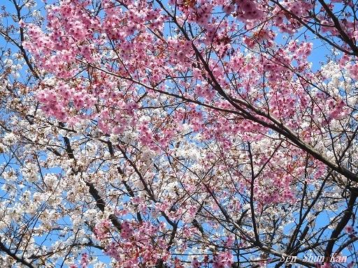 平野神社の桜が見頃です  2019年4月4日_a0164068_14345432.jpg