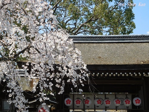 平野神社の桜が見頃です  2019年4月4日_a0164068_14345474.jpg