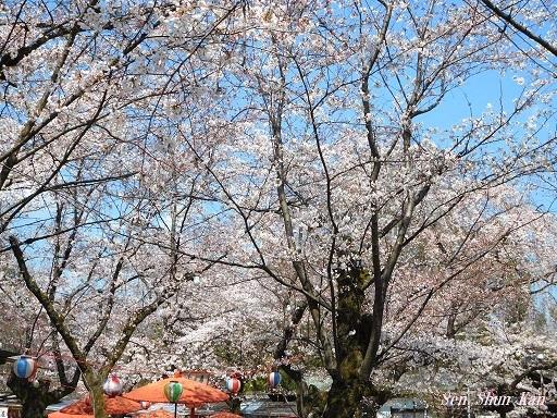 平野神社の桜が見頃です  2019年4月4日_a0164068_14345577.jpg