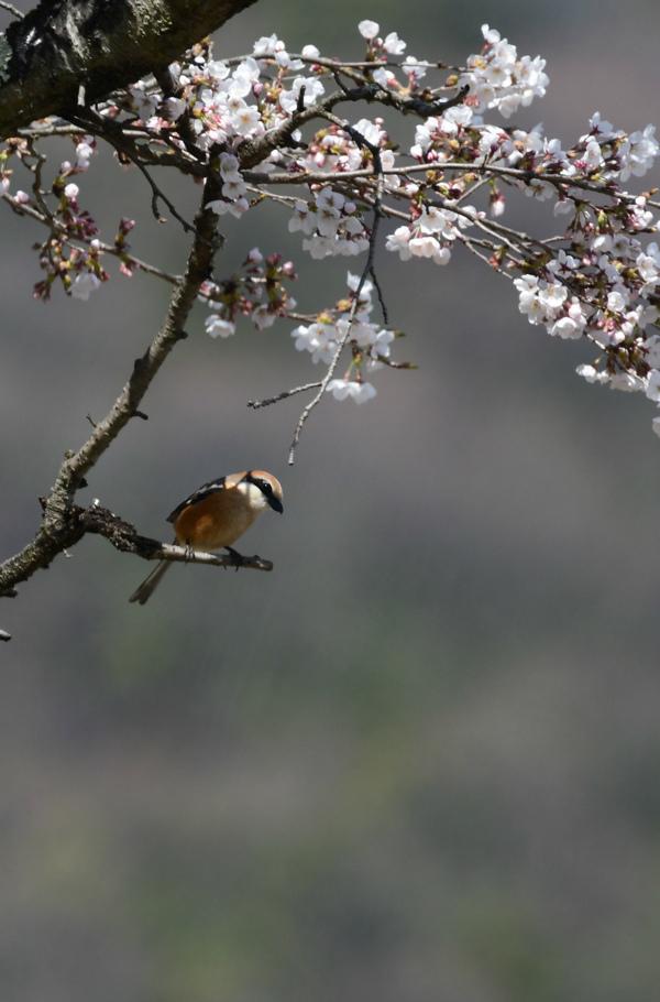 桜にモズ_f0053272_21540751.jpg