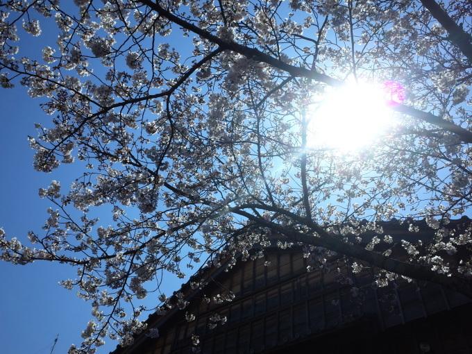 伊勢の桜 2019_c0188784_19130972.jpg