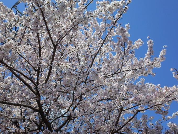 伊勢の桜 2019_c0188784_19135979.jpg
