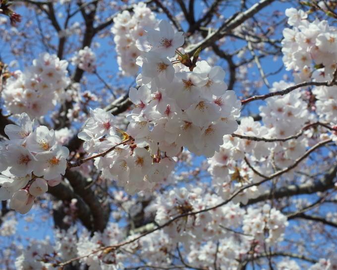 伊勢の桜 2019_c0188784_19260105.jpg