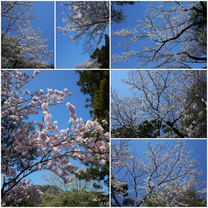 伊勢の桜 2019_c0188784_20095261.jpg