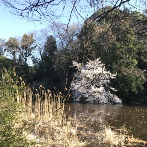 桜散歩@石神井公園2019_d0122797_16324856.jpg