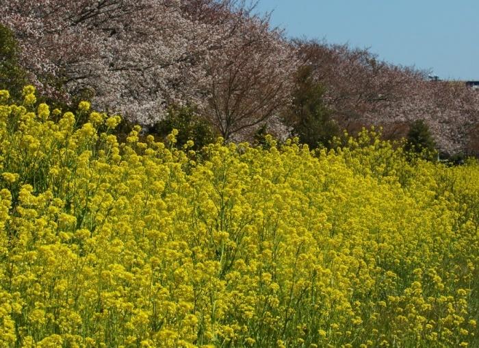 桜の花びらを、、_f0305401_15455790.jpg