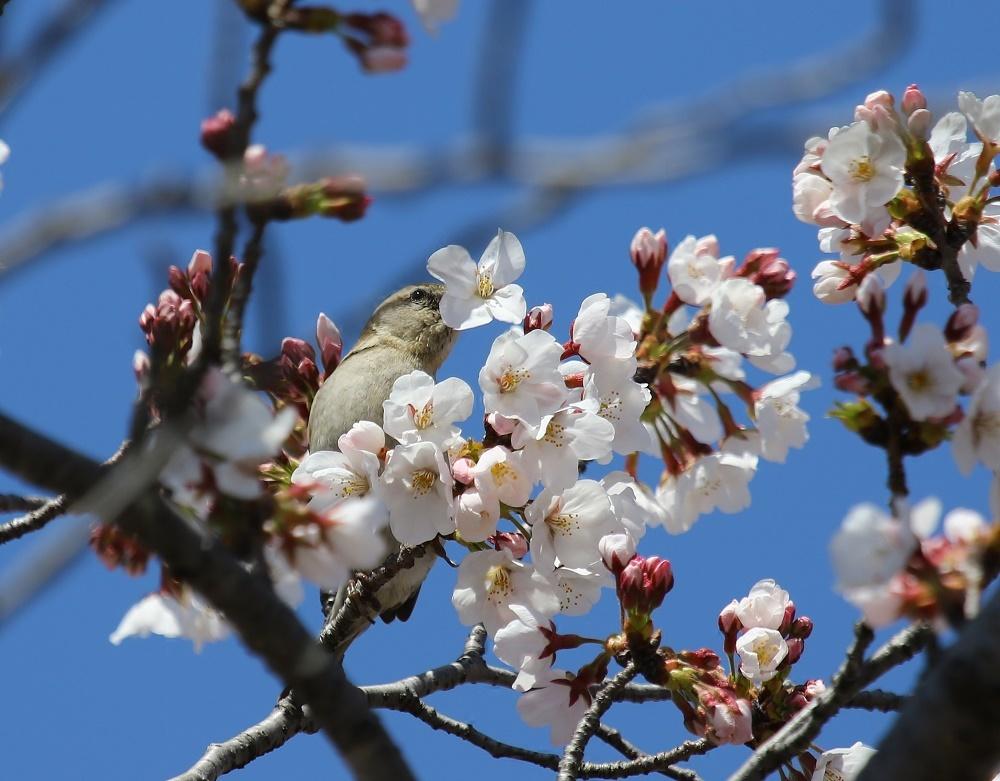 桜の花びらを、、_f0305401_15460458.jpg