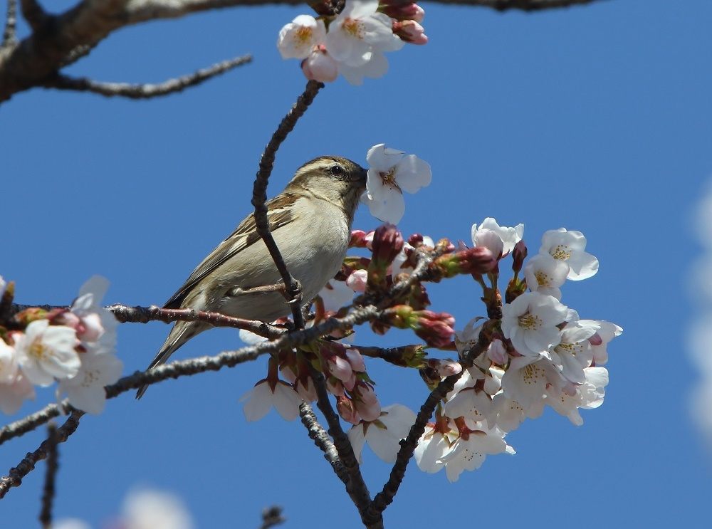 桜の花びらを、、_f0305401_15462431.jpg